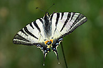 Scarce Swallowtail Butterfly, Iphiclides podalirius, resting with wings open, black and white pattern, Provence .France....