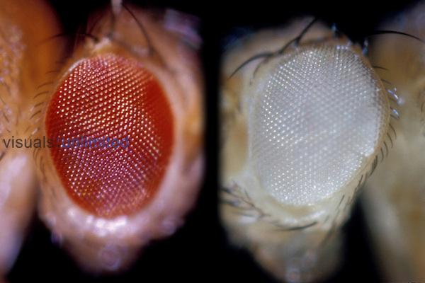 Drosophila Fruit Fly eye comparison: Wild (left) and White (right)