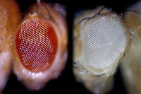 Drosophila Fruit Fly eye comparison: Wild (left) and White (right)
