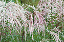Miscanthus sinensis 'Kaskade', early September. A tall, clump-forming deciduous grass, with narrow, arching leaves with prominent white midribs, turning bronze in autumn, and feathery rosy-pink flower heads in late summer.