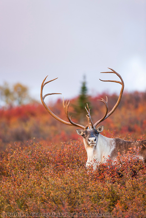 Bull caribou stands on the autumn colored tundra of Denali National Park.