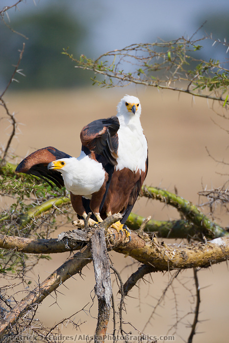 African Fish Eagle, Haliaeetus vocifer, Kazinga Channel, Queen Elizabeth National Park, Uganda, East Africa