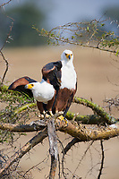 African Fish Eagle, Haliaeetus vocifer, Kazinga Channel, Queen Elizabeth National Park, Uganda, East Africa
