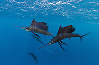 TK0220-D. Atlantic Sailfish (Istiophorus albicans) are the fastest fish in the sea, capable of short sprints to 60mph. These highly prized gamefish grow to at least 10 feet long, feeding on squid and various fish, including baitfish such as sardine and mackerel. They are capable of amazing color changes, from solid black to silver, sometimes even showing electric blue banding. Gulf of Mexico, Mexico, Caribbean Sea.<br /> Photo Copyright &copy; Brandon Cole. All rights reserved worldwide.  www.brandoncole.com