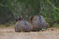 650520316 two wild baby javelinas or collared peccaries dicolytes tajacu rest near a waterhole on santa clara ranch in starr county rio grande valley texas united states