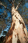 Eucalyptus Tree, looking up bark to canopy of leaves, Sierra Morena, Andalucia, Spain