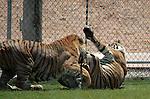 Bengal Tiger Wrestling.