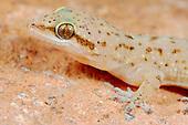 Socotran Ground Gecko head (Hemidactylus homoeolepis), endemic to Socotra, Yemen.