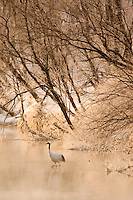 Red-crowned crane steps out into the water at sunrise, Hokkaido, Japan