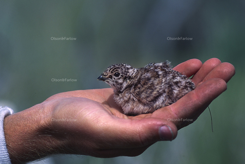 Baby sage grouse - photo#1