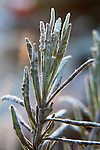 Frost covered Lavendar.  ©2013. Jim Bryant Photo. All Rights Reserved.