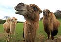 2012_04_13_BABY_CAMEL