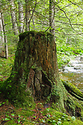 Old tree stump next to Meadow Brook which travels near the Sawyer River Trail. Sawyer River Trail travels along the old Sawyer River Railroad logging line in Livermore, New Hampshire USA. This was a logging railroad that operated from 1877-1928.