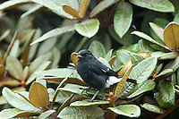 Male pied bush chat