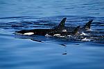 Orca cow & calf (Orcinus orca)