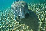 West Indian manatee, Homosassa Springs Wildlife State Park, Florida