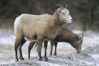 Immature male Bighorn Sheep standing in a barren rocky field