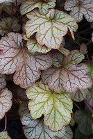 Heuchera &lsquo;Pinot Noir&rsquo;