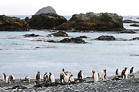Beach Patrol - King penguins Macquarie Island