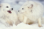 Arctic Fox, Alopex lagopus, Minnesota, in snowy landscape, white, coat, fur winter.USA....