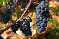 pinot noir dom rossignol trapet gevrey-chambertin cote de nuits burgundy france