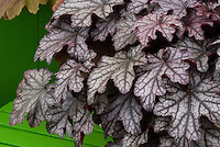 Heuchera &lsquo;Blackberry Jam&rsquo;