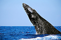 Humpback Whale, head-lunge, jaw clap, and chin slap in competitive group, Megaptera novaeangliae, Hawaii, Pacific Ocean