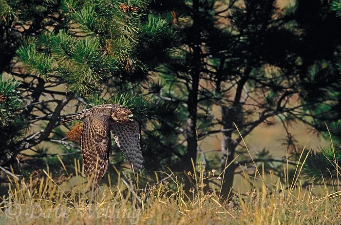 537410003 A captive, falconer's bird, a young northern goshawk, accipiter gentilis, in flight over grasslands in central Colorado.