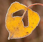 frosted Aspen leaf autumn
