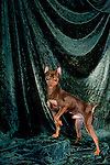 Miniature Pinscher<br />