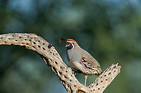 574470020 a wild male gambel's quail perches on a dead cactus skeleton near green valley arizona united states
