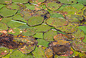 Long Island, New York, Lotus Lake. Close-up of the lily-pads.