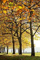 Cottonwood trees, Kayak Point County Park, Snohomish County, Washington, USA