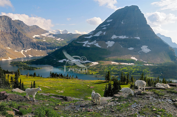 Mountain Goat (Oreamnos americanus). Glacier National Park, Montana ... Ungulate Habitat
