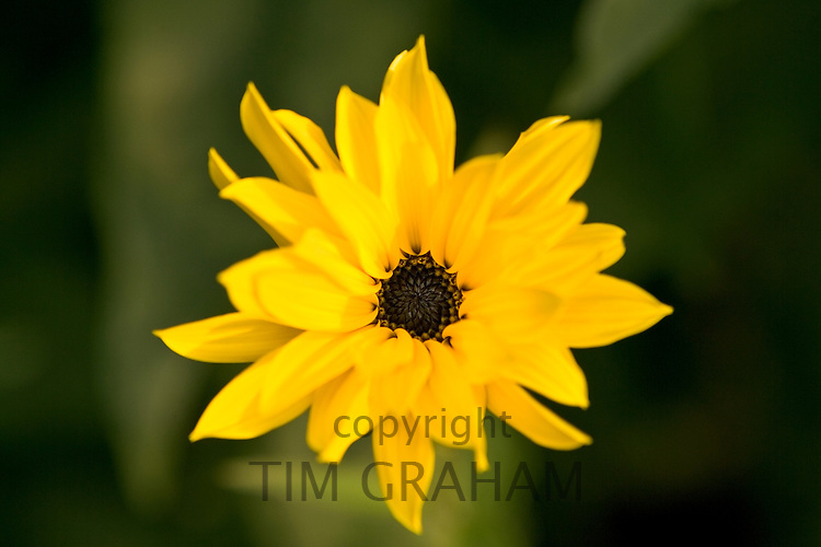 Yellow daisy, Oxfordshire, England
