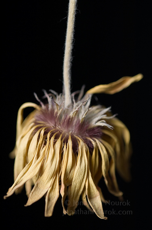 close-up of a dried gerbera daisy - commercial/editorial licensing for this image is available through: http://www.gettyimages.com/detail/200250582-001