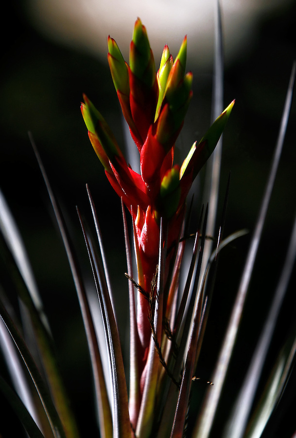 Everglades, Fla. -- Feb. 18, 2007 -- A bromeliad blooms in the cypress tree stand near the Oasis Visitor Center in the Big Cypress National Preserve just north of Everglades National Park on the southern tip of Florida on Sunday, Feb.  18, 2007.
