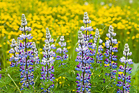 Lupine wildflowers, southcentral, Alaska.