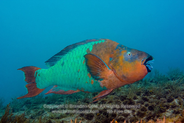 TR70973-D. Rainbow Parrotfish (Scarus guacamaia), 2 feet long, terminal phase coloration, feeds by using parrot-like beak to scrape filamentous algae off dead coral and rocks. Cayman Islands, Caribbean Sea.<br /> Photo Copyright &copy; Brandon Cole. All rights reserved worldwide.  www.brandoncole.com