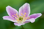 Wood Anemone, Anemone nemorosa, Kent, UK, pink form