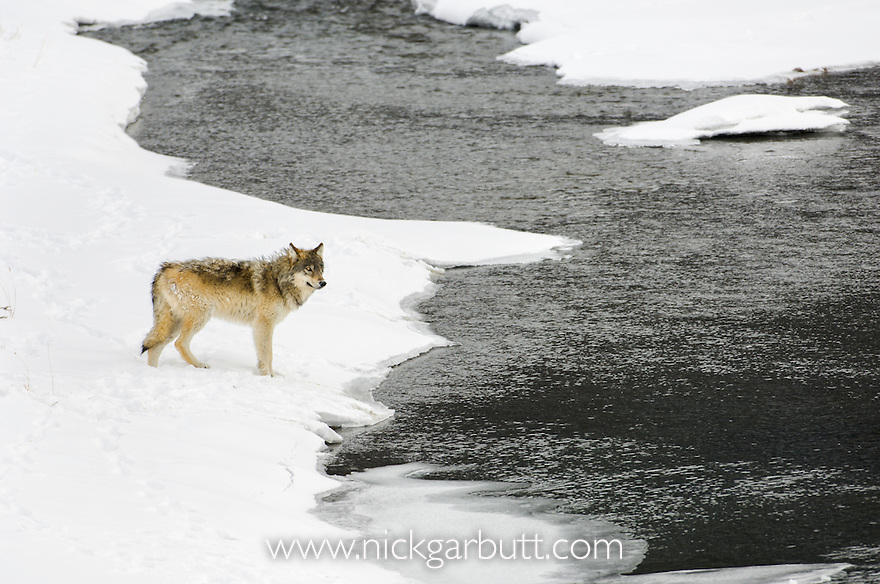 Male Timber or Grey Wolf (Canis lupus) entering the Lamar River, Yellowstone National Park, Wyoming, USA. February