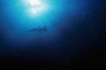 Hammerhead shark silhouette in sunlight, Sphyrna mokarran, largest species of hammerhead shark