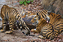 India, Bandhavgarh National Park, Bengal tiger family with 17 months old cubs on fresh Sambar deer kill, early morning, dry season