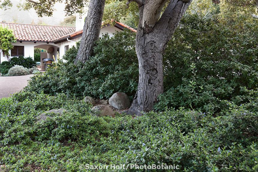 California native shrubs, groundcover Ceanothus and Coffeeberry (Rhamnus californica) in shade under Coast Live Oak trees (Quercus agrifolia) in Santa Barbara garden