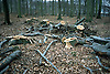 felled beeches in autumnal forest<br /> <br /> hayas cortadas en un bosque de oto&ntilde;o<br /> <br /> gef&auml;llte Buchen in Herbstwald<br /> <br /> Original: 35 mm slide transparancy