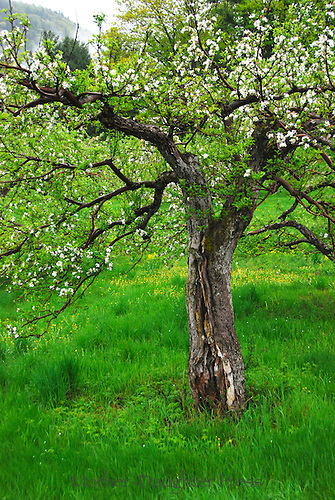 Old apple tree in Southern Vermont