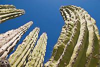 Large Cardon Cactus (Pachycereus pringlei)  Baja California, Mexico