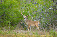 Whitetail deer (Odocoileus virginianus)trophy buck in Texas