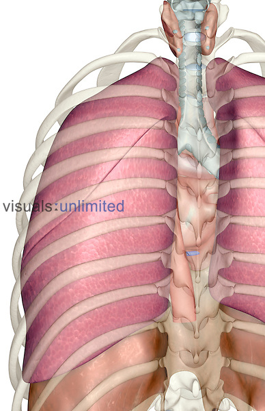 A posterior view of the respiratory system relative to the rib cage. Royalty Free
