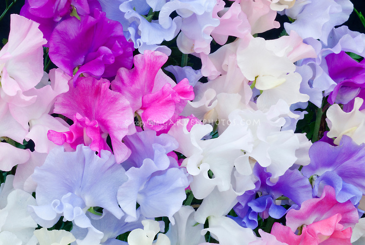 Lathyrus odoratus 'Highly Perfumed Mixed Spencer', sweet peas annual cut flowers, very fragrant vine for the garden